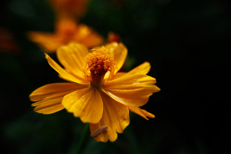 Beauty In Nature Close-up Coreopsis Flower Flower Head Flower Orange Sulfur Cosmos Sulphureus