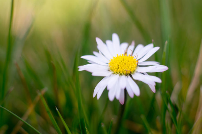 Flower Fragility Nature Beauty In Nature Outdoors No People Flower Head Grass White Color Green Color Close-up Growth Freshness Summer EyeEmNewHere Old Lens Meyer-Optik-Görlitz Meyer-Optik Analog Lenses Primoplan