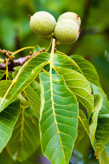 Foliage and fruits of a common walnut (Juglans regia). Forestry Juglans Regia Seeds Beauty In Nature Branch Common Walnut Food Fruit Green Color Growth Leaf Nature Tree Walnut