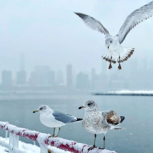 Seagulls flying against the sky