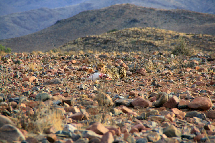 Abundance Africa Beauty In Nature Cheetah Day Full Frame Large Group Of Objects Mountain Mountain Range Nature Nature Nature Photography Non-urban Scene Outdoors Prey Remote Scenics Selective Focus Stone Stone - Object Surface Level Tranquil Scene Tranquility Wildlife Wildlife Photography