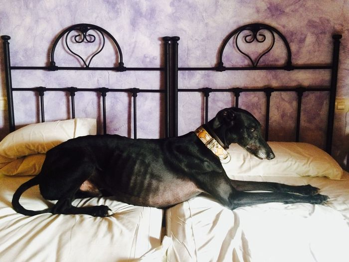 Dog relaxing on bed at home