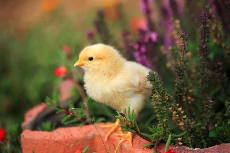 Spring chick Baby Animals Chickens Pets Garden Flowers Flowers Chick Chicken - Bird Baby Chickens Baby Chicks Cute Animals One Animal Animal Themes Nature No People Birds In My Garden Animals Fluffy Yellow Fuzzy Easter Easter Chicks