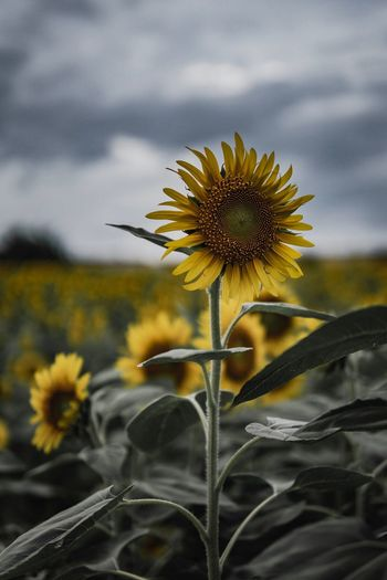 Flower Flowering Plant Freshness Plant Fragility Growth Flower Head Yellow Beauty In Nature Close-up Pollen Sky Focus On Foreground Cloud - Sky Petal No People Sunflower Vulnerability  Inflorescence Nature