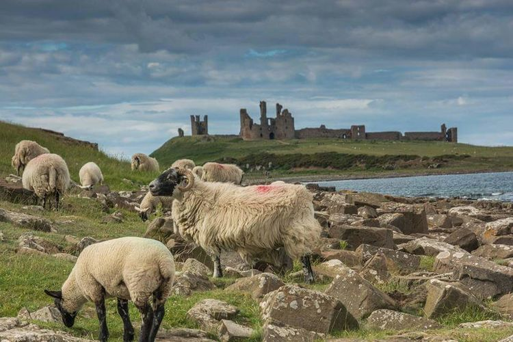 Northumberland Sheep Dunstanburgh Castle Coastline Landscape Coastal Views Large Group Of Animals Outdoors Flock Of Sheep Domestic Animals Mammal No People Animal Themes Day Sky Nature Tree