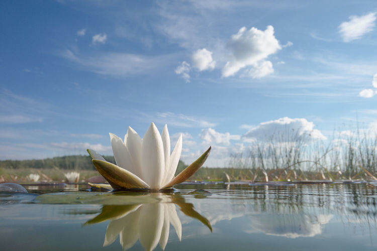 Close-up of water lily in lake against sky