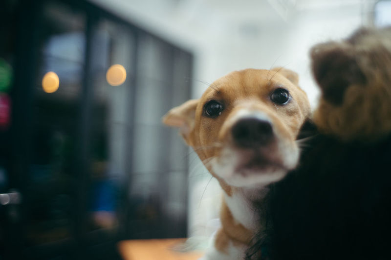 Dog Canine Mammal One Animal Animal Themes Animal Domestic Animals Domestic Pets Vertebrate Portrait Focus On Foreground Looking At Camera Indoors  No People Selective Focus Close-up Animal Body Part Looking Animal Head  Small AdoptDontShop Adopt A Shelter Pet Adopt To Save A Life Pet Photography  Adoption