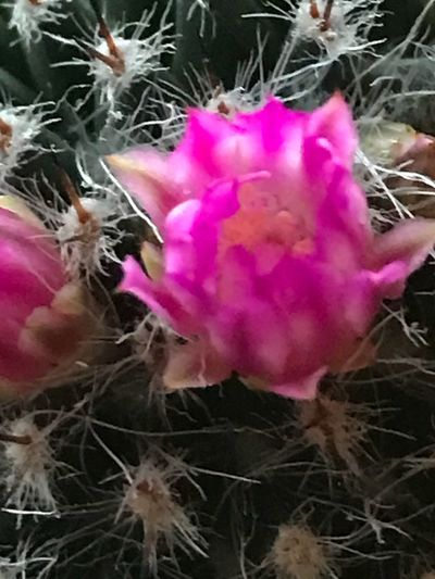 Cactusclub Cactusshop Cactusclub Cactus Lovers Cactus Flower Indoors  Flower Growth Beauty In Nature Nature Plant Fragility Petal Pink Color No People Close-up Flower Head Freshness Blooming Day