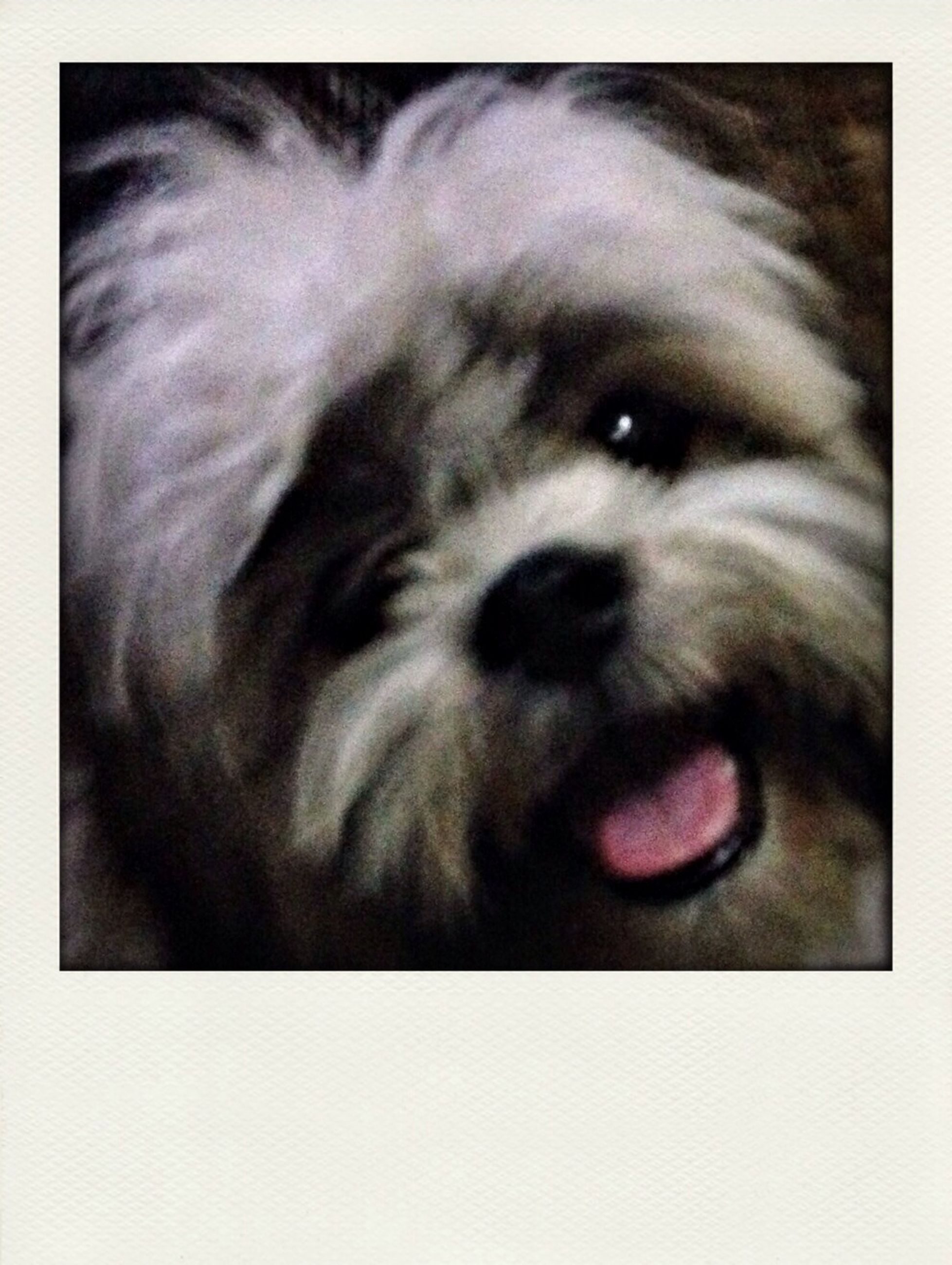 pets, domestic animals, one animal, animal themes, mammal, dog, transfer print, auto post production filter, animal head, looking at camera, portrait, close-up, animal body part, animal hair, black color, no people, mouth open, zoology, vertebrate, day