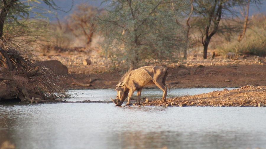 Warthog drinking water at riverbank