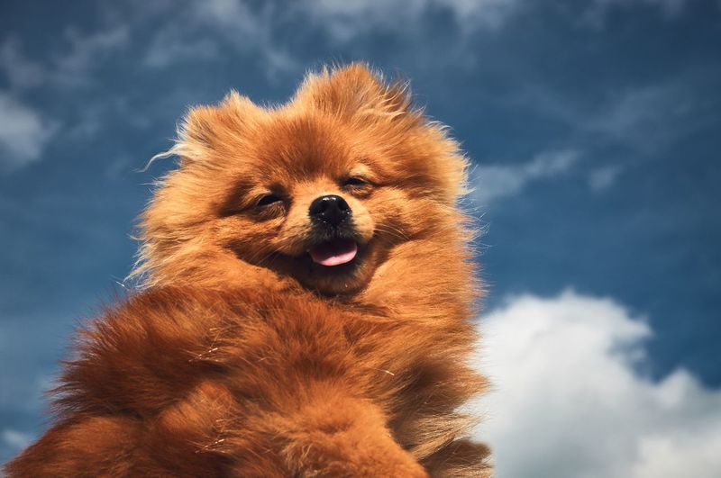 Dramatic Angles Animal Themes Low Angle View Close-up Mammal Focus On Foreground Sky Cloud - Sky Head In The Sky Head In The Clouds From My Point Of View EyeEm Gallery Showcase September Puppy Puppy Love Happiness Dog Day Animal Hair Outdoors Animal Head  Pomeranian No People Animal Nose Snout TBT Pet Portraits