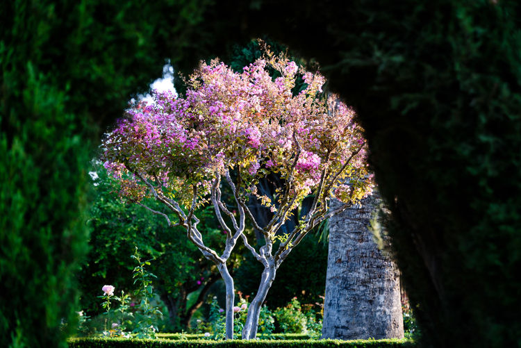 Tree with pink blossoms framed by a hedge Alhambra De Granada  Framed Granada Nature SPAIN Tree A Walk In The Park Alhambra First Eyeem Photo Flowers Garden Greenery Hedge Park