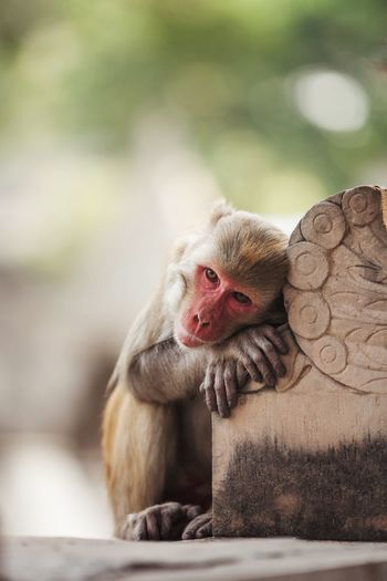 Monkey's Dreams Animal Themes Animal One Animal Mammal Animals In The Wild Vertebrate Monkey Animal Head  Looking Away Facial Expression Relaxation Animal Wildlife Primate
