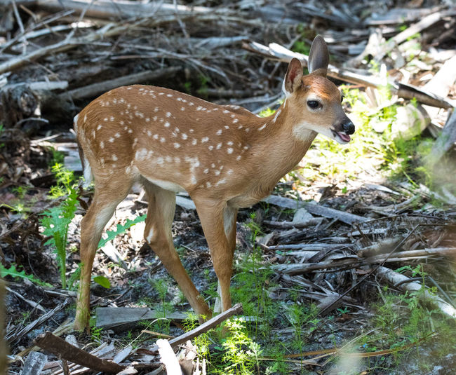 Apr 2019 - Whitetail Deer (Odocoileus virginianus) Fawn Deer Fawn Whitetail Deer Animal Animal Wildlife Animal Themes Animals In The Wild One Animal Land Vertebrate Mammal Nature Day No People Young Animal Standing Spotted Brown Herbivorous Outdoors Plant Florida Life Swamplife