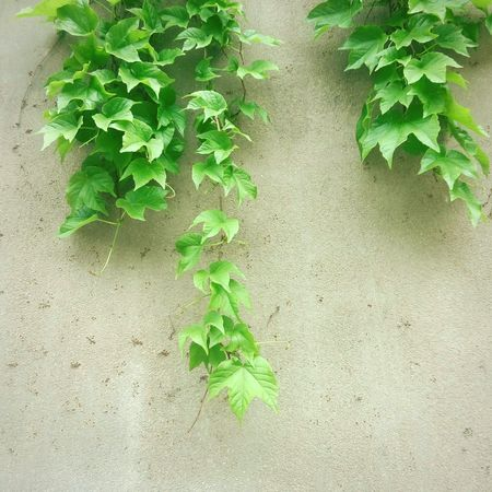 Green Leaves Wall 爬山虎