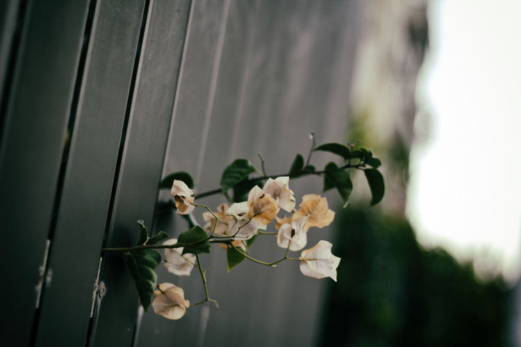 Close-up of bougainvillea blooming by fence