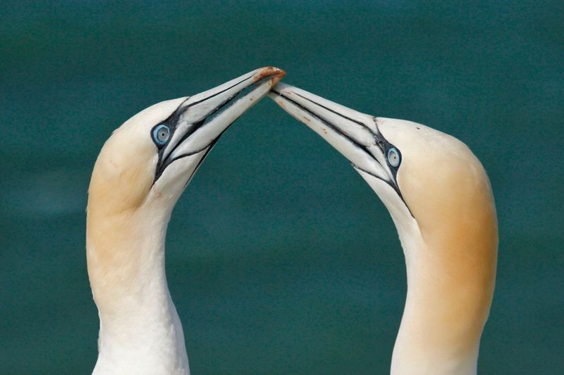 Close-Up Of Gannets