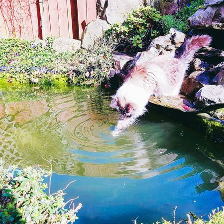Ragdoll cat fishing in a garden pond.Water Animal Themes Reflection Nature Outdoors Day One Animal No People Pets Domestic Animals Cat Watching Ragdoll Cat Samsung Galaxy S7 Edge EyeEmNewHere Cats Of EyeEm Waterripples Dipping Your Toes Pond English Garden Springtime FUNNY ANIMALS Fishing Pedigree Cat Longhaired Cats Playful Cat