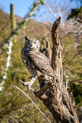 Owl show Big Eyes Cactus Cactus Garden Mountain View Tucson Arizona  Amimal Animal Themes Bird Bird Wings Day Nature No People One Animal Outdoors Owl