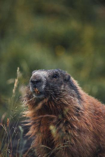 Close-up of alpine marmot