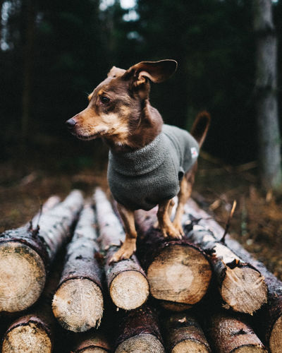 Mit Hund im Wald One Animal Mammal Animal Themes Animal Domestic Animals Dog Domestic Canine Pets Vertebrate Log Tree Timber Focus On Foreground No People Looking Nature Wood Looking Away Forest Dogs Of EyeEm EyeEmNewHere EyeEm Best Shots EyeEm Nature Lover EyeEm Best Edits