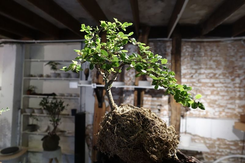 Close-Up Of Bonsai Tree In Greenhouse