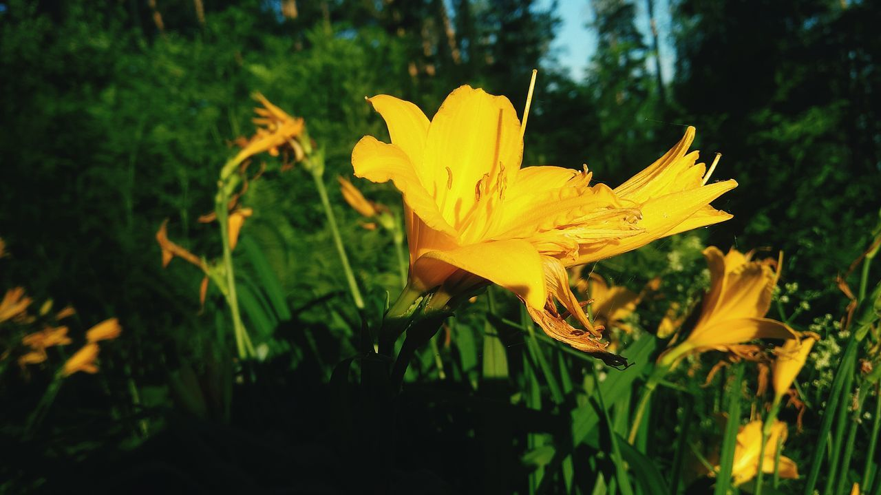 flower, yellow, growth, petal, nature, plant, beauty in nature, flower head, fragility, freshness, blooming, no people, outdoors, close-up, day