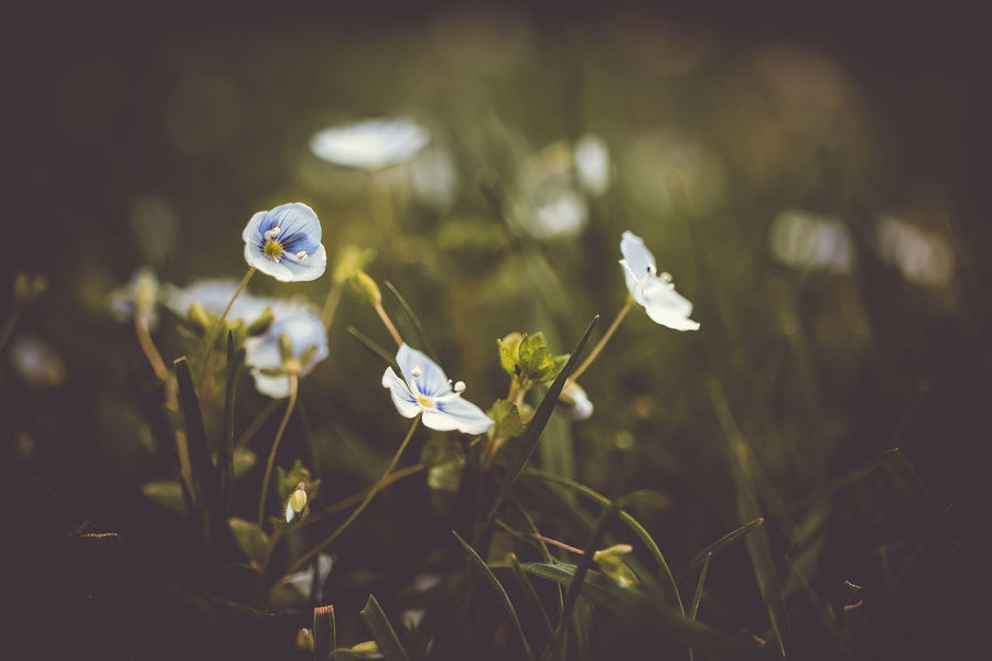 beautiful blue Beauty In Nature Close-up Day Field Flower Flower Head Flowering Plant Focus On Foreground Fragility Freshness Green Color Growth Inflorescence Land Nature No People Outdoors Petal Plant Purity Selective Focus Small Vulnerability