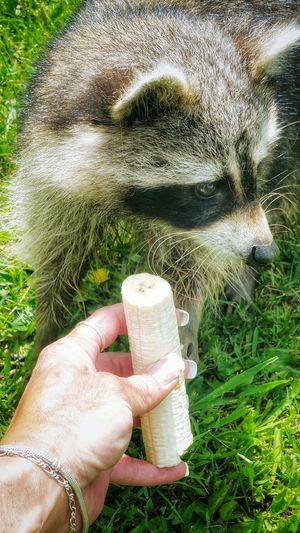 🍌Morning Breakfast (My Sissy Girl) Raccoon Time!! Pets Petsandanimals Pets Are Family Petslife Petlovers Petoftheday From My Point Of View Eyeemanimal Lover
