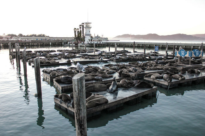 California California Coast Fisherman's Wharf Mammal Marine Animal Marine Life San Francisco Sea Wharf Landscapes