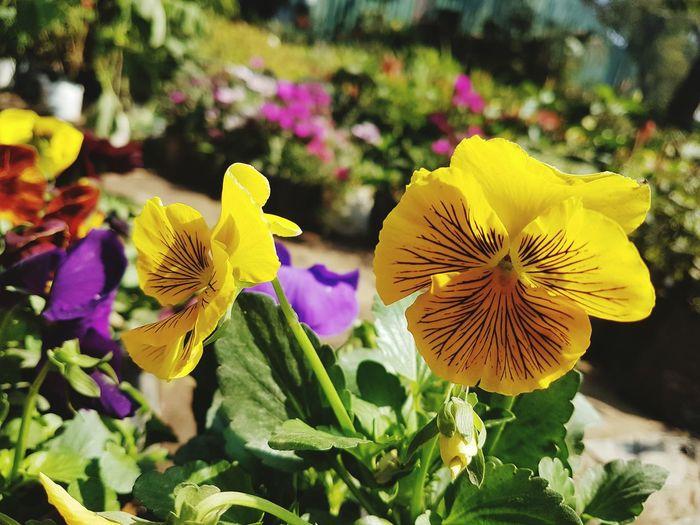 Flower Yellow Nature Beauty In Nature Freshness Close-up Pintu Satish Patna Patna In India)