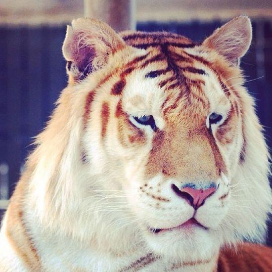 Tigger Rawr! Grrrr Arg Arrr! Animals Animal Felino !!! Kitten Animales