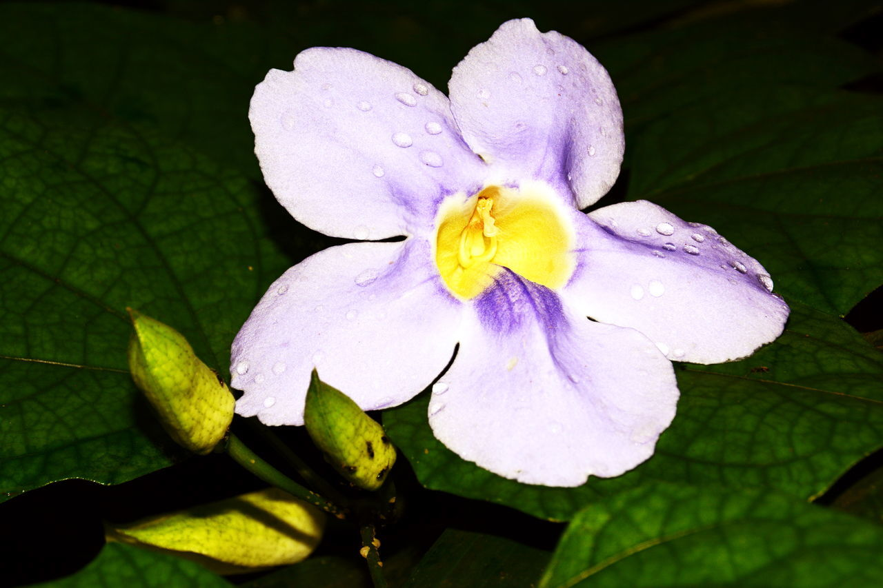 flower, leaf, petal, beauty in nature, fragility, nature, growth, close-up, plant, freshness, flower head, no people, outdoors, day, periwinkle