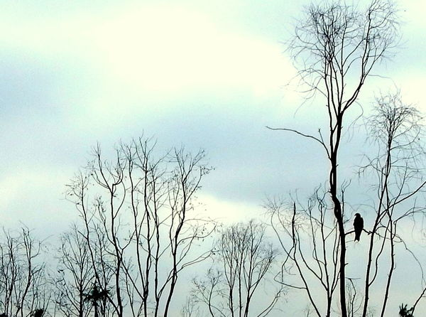 Nature Silhouette Plant Bare Tree Animal Wildlife Branch Outdoors Sky Tree No People Bird Day Beauty In Nature Nikon L830 Coolpix Tranquility Kite Animals In The Wild Forest The Great Outdoors - 2017 EyeEm Awards