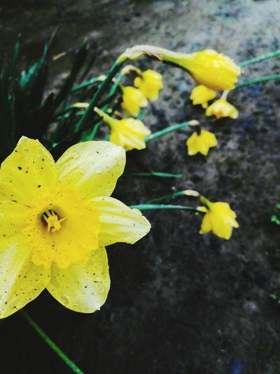 Springtime My Photography Huaweip8 Lite Mobilephotography Spring Flowers Spring Flowers Huaweiphotography Rainy Days Flower Yellow Plant Wildflower Plant Life