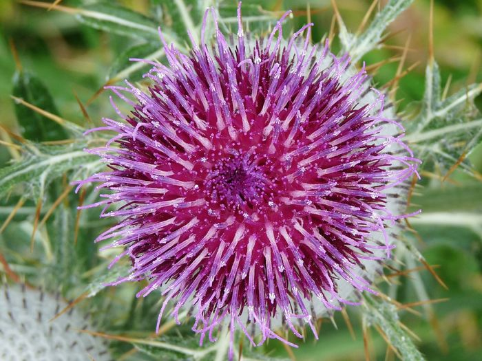 Flower Purple Plant Flower Head Nature Fragility Wildflower Growth Uncultivated No People Beauty In Nature Freshness Thistle Day Outdoors Petal Springtime Close-up EyeEmNewHere