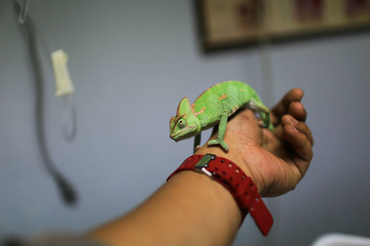 Cropped Hand Of Veterinarian Holding Lizard In Hospital