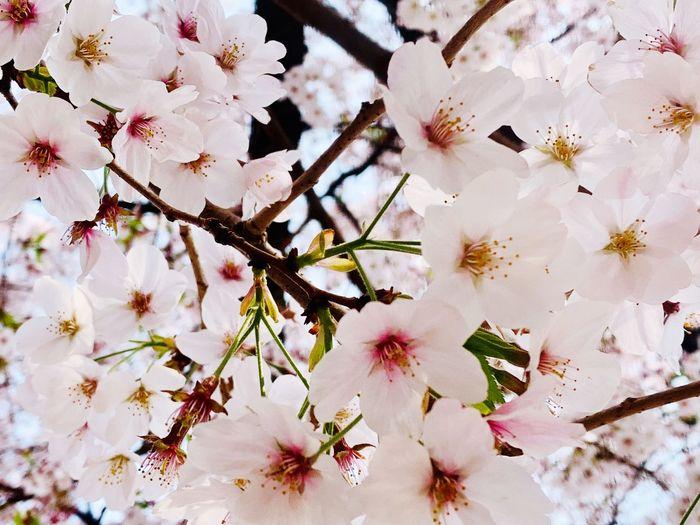桜🌸 皇居 Flower