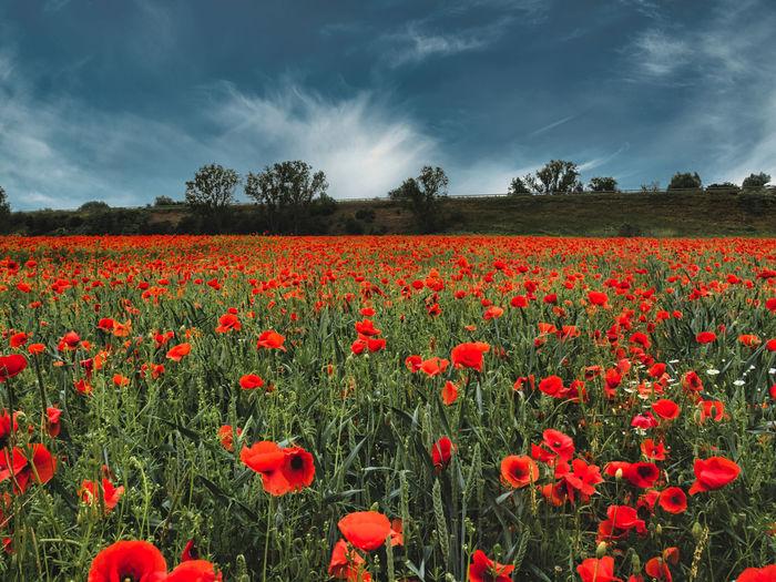 Red poppy flowers in field