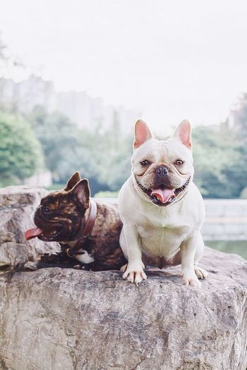 我们。 I Love My Dog Bulldog Cute Pets Frenchbulldogs Hi! My Dog Canon Dogs Chengdu