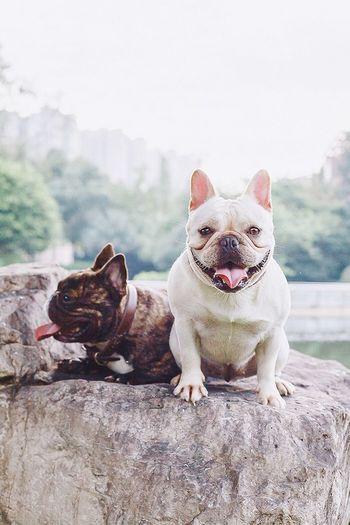 我们。 I Love My Dog Bulldog Cute Pets Frenchbulldogs Hi! My Dog Canon Dogs Chengdu