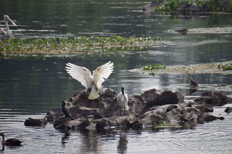 flight mode..... Nikon Photography NIKON D5300 Nikon Nikonphotography Photography No People Nikond5300 Day Bird Spread Wings Water Flying Lake Bird Of Prey Animal Themes Water Bird White Swan
