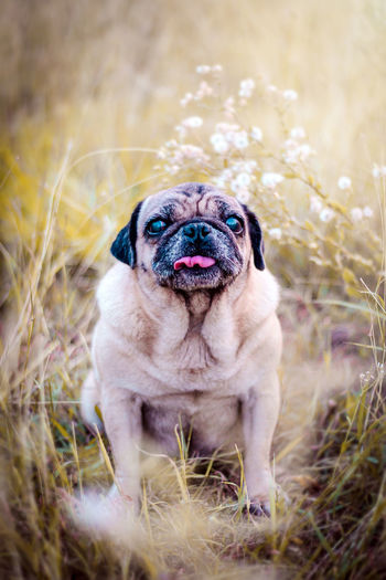 Funny Pug Puppy on grass field want to be sleep portrait of a cute pug dog with big sad eyes Dramatic tone dramatic tone style. One Animal Dog Canine Animal Domestic Pets Mammal Animal Themes Domestic Animals Plant Vertebrate Nature Grass No People Day Panting Animal Head  Grass Meadow Filed Pug Portrait Cute Dramatic Soft Light Flower Autumn autumn mood Old Standing Pawn