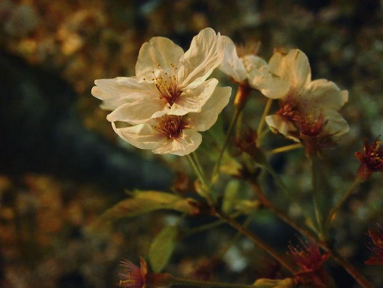 ソメイヨシノはそろそろ見納めかなぁ〜(´ー`) Sakura Cherry Blossoms Nightphotography Yozakura Flowers Lumix Dmc-cm1Taking Photos Nature Nature_collection