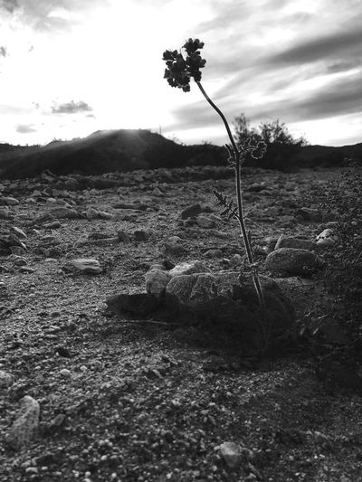 Growth Nature Outdoors Landscape No People Sky Rural Scene Day Scenics Beauty In Nature Close-up Desert Flora Fragility Flower Blackandwhite Photography Scorpion Weed EyeEm Nature Lover