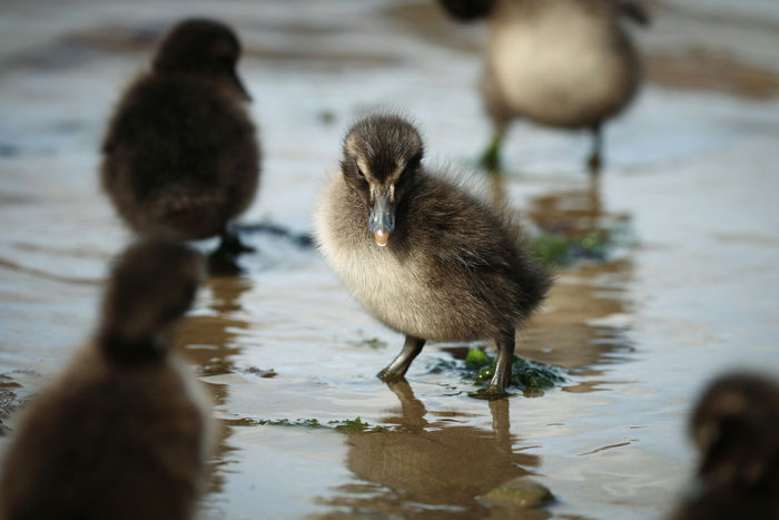 Eider chick Animal Themes Animal Wildlife Animals In The Wild Bird Close-up Day Duckling Goose Gosling Lake Nature No People Outdoors Water Young Animal Young Bird