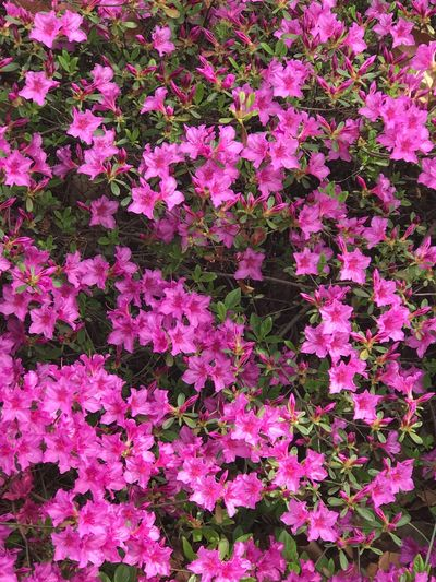 Azalea Pink Color Flower No People Backgrounds Beauty In Nature Outdoors