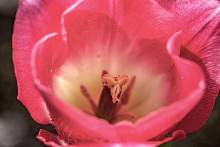 Macro shot of pink rose flower petal