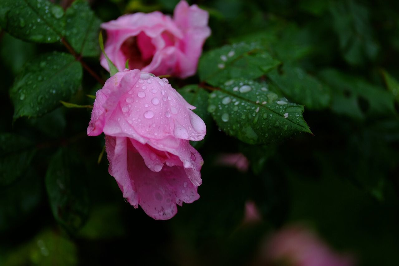 drop, wet, flower, nature, growth, beauty in nature, petal, water, leaf, no people, plant, pink color, fragility, green color, raindrop, close-up, freshness, day, outdoors, flower head, blooming, periwinkle