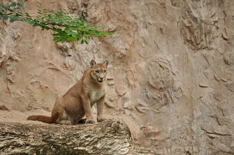 The cougar (Puma concolor), also known as puma, mountain lion, mountain cat, catamount or panther, depending on the region, is a mammal of the family Felidae, native to the Americas. Lion Animal Animal Wildlife Animals In The Wild Cougar Mammal Panther Puma Rock Solid
